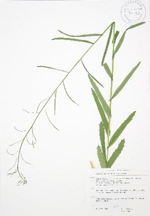(Arabis laevigata - JAG 0562)  @11 [ ] Copyright (2009) Unspecified University of Guelph BIO Herbarium
