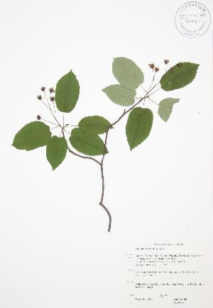 (Amelanchier laevis - JAG 0568)  @11 [ ] Copyright (2009) Steven Newmaster University of Guelph BIO Herbarium