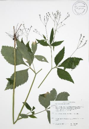 (Cryptotaenia - JAG 0759)  @11 [ ] Copyright (2009) Steven Newmaster University of Guelph BIO Herbarium