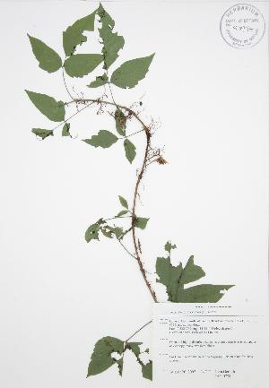 (Toxicodendron radicans - JAG 0778)  @11 [ ] Copyright (2009) Steven Newmaster University of Guelph BIO Herbarium