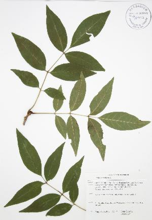 ( - JAG 0767)  @11 [ ] Copyright (2009) Steven Newmaster University of Guelph BIO Herbarium