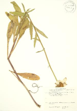 (Leucanthemum - JK 102)  @11 [ ] Copyright (2009) Steven Newmaster University of Guelph BIO Herbarium