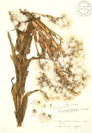 (Senecio congestus - JK 045)  @11 [ ] Copyright (2009) Steven Newmaster University of Guelph BIO Herbarium