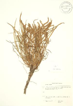 (Plantago maritima - JK 041)  @11 [ ] Copyright (2009) Steven Newmaster University of Guelph BIO Herbarium