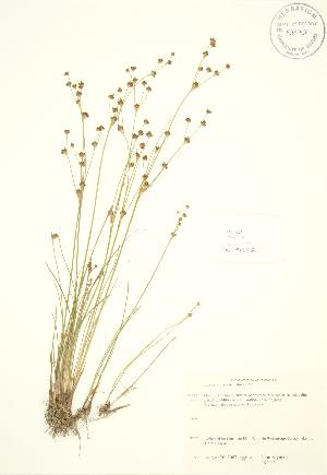 (Juncus alpinoarticulatus - JK 112)  @11 [ ] Copyright (2009) Steven Newmaster University of Guelph BIO Herbarium