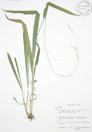 (Milium - BAR092)  @11 [ ] Copyright (2009) Steven Newmaster University of Guelph BIO Herbarium