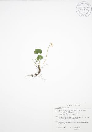 (Viola renifolia - ALR017)  @11 [ ] Copyright (2009) Steven Newmaster University of Guelph BIO Herbarium
