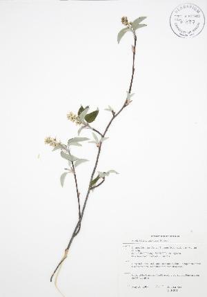 (Amelanchier spicata - ALR001)  @11 [ ] Copyright (2009) Unspecified University of Guelph BIO Herbarium