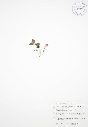 (Polygala paucifolia - ALR019)  @11 [ ] Copyright (2009) Unspecified University of Guelph BIO Herbarium