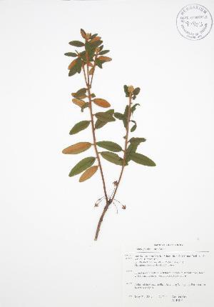 (Rhododendron groenlandicum - ALR016)  @11 [ ] Copyright (2009) Steven Newmaster University of Guelph BIO Herbarium