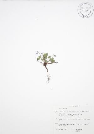 (Viola adunca - ALR008)  @11 [ ] Copyright (2009) Unspecified University of Guelph BIO Herbarium