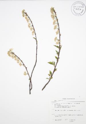 (Prunus pensylvanica - ALR009)  @11 [ ] Copyright (2009) Steven Newmaster University of Guelph BIO Herbarium