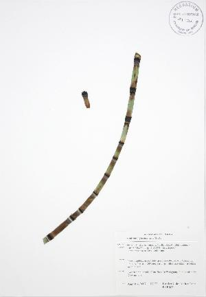 (Equisetum hyemale affine - BAR085)  @11 [ ] Copyright (2009) Steven Newmaster University of Guelph BIO Herbarium