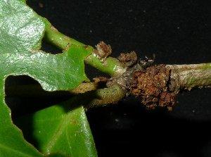 (Cleistanthus - MG_0299_I)  @11 [ ] by-nc-sa (2015) Megawati Herbarium Bogoriense