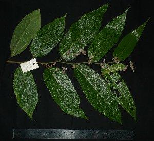 (Grewia - MG_0307_I)  @11 [ ] by-nc-sa (2015) Megawati Herbarium Bogoriense