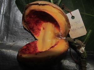 (Tabernaemontana sphaerocarpa - MG_0311_I)  @11 [ ] by-nc-sa (2015) Megawati Herbarium Bogoriense