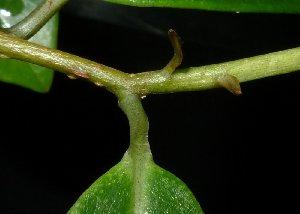 (Embelia - MG_0323_K)  @11 [ ] by-nc-sa (2015) Megawati Herbarium Bogoriense