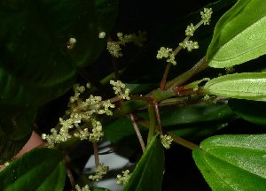 (Pilea - MG_0330_K)  @11 [ ] by-nc-sa (2015) Megawati Herbarium Bogoriense