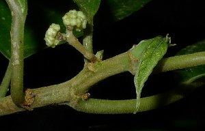 (Villebrunea - MG_0333_K)  @11 [ ] by-nc-sa (2015) Megawati Herbarium Bogoriense
