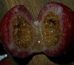 (Ficus variegata - MG_0345_I)  @11 [ ] CreativeCommons - Attribution Non-Commercial Share-Alike (2015) Megawati Herbarium Bogoriense