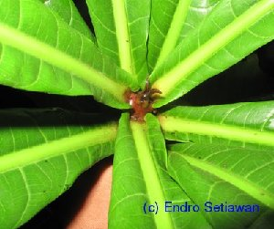 (Buchanania nitida - XM_0415)  @11 [ ] CreativeCommons - Attribution Non-Commercial Share-Alike (2012) C Webb, E Setiawan, H Yanto Arnold Arboretum of Harvard University