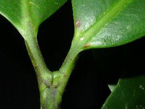 (Centroplacaceae - XM_0019_H)  @11 [ ] by-nc-sa (2015) Cam Webb, Endro Setiawan & Hery Yanto Arnold Arboretum of Harvard University