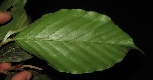 (Dipterocarpus - XM_0027_H)  @11 [ ] by-nc-sa (2015) Cam Webb, Endro Setiawan & Hery Yanto Arnold Arboretum of Harvard University