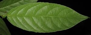 (Moultonianthus - XM_0218)  @11 [ ] by-nc-sa (2015) Cam Webb, Endro Setiawan & Hery Yanto Arnold Arboretum of Harvard University