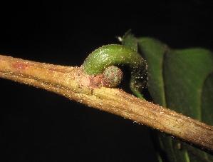 (Artocarpus - XM_0268_M)  @11 [ ] by-nc-sa (2015) Cam Webb, Endro Setiawan & Hery Yanto Arnold Arboretum of Harvard University