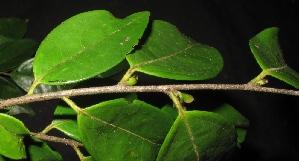 (Diospyros sumatrana - XM_0296_I)  @11 [ ] by-nc-sa (2015) Cam Webb, Endro Setiawan & Hery Yanto Arnold Arboretum of Harvard University