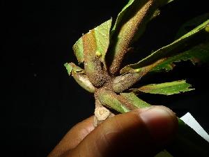 (Buchanania amboinensis - XM_0448_I)  @11 [ ] by-nc-sa (2015) Cam Webb, Endro Setiawan & Hery Yanto Arnold Arboretum of Harvard University