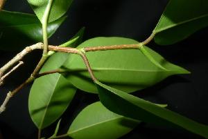 (Ficus benjamina - XM_0929_J)  @11 [ ] by-nc-sa (2015) Cam Webb, Endro Setiawan & Hery Yanto Arnold Arboretum of Harvard University