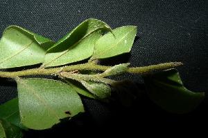 (Diospyros buxifolia - XM_0977_H)  @11 [ ] by-nc-sa (2015) Cam Webb, Endro Setiawan & Hery Yanto Arnold Arboretum of Harvard University