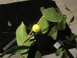 (Ficus ampelas - YS_0857_H)  @11 [ ] CreativeCommons - Attribution Non-Commercial Share-Alike (2015) Yessi Santika Herbarium Bogoriense