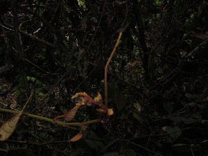 (Cissus - YS_0877_K)  @11 [ ] by-nc-sa (2015) Yessi Santika Herbarium Bogoriense
