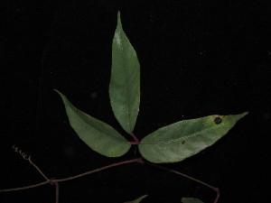 (Pterisanthes - YS_0888_K)  @11 [ ] by-nc-sa (2015) Yessi Santika Herbarium Bogoriense