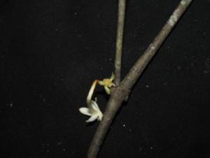 (Phaleria capitata Jack - YS_0913_K)  @11 [ ] by-nc-sa (2015) Yessi Santika Herbarium Bogoriense