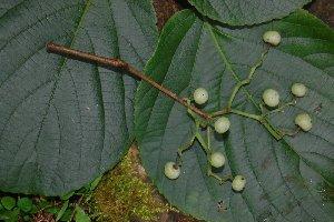 (Cayratia - YS_0574)  @11 [ ] CreativeCommons - Attribution Non-Commercial Share-Alike (2014) Yessi Santika Herbarium Bogoriense, LIPI