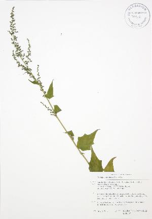 (Chenopodium simplex - BAR197)  @11 [ ] Copyright (2009) Steven Newmaster University of Guelph BIO Herbarium