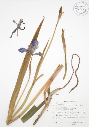 (Iris versicolor - BAR050)  @11 [ ] Copyright (2009) Steven Newmaster University of Guelph BIO Herbarium