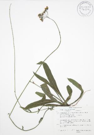 (Hieracium - BAR035)  @11 [ ] Copyright (2009) Unspecified University of Guelph BIO Herbarium