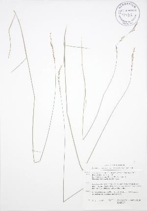 (Piptatherum - BAR237)  @11 [ ] Copyright (2009) Unspecified University of Guelph BIO Herbarium
