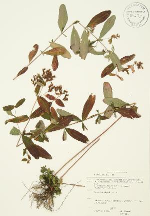(Hypericum punctatum - JAG 0406)  @11 [ ] Copyright (2009) Steven Newmaster University of Guelph BIO Herbarium