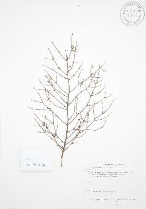 ( - RS161)  @11 [ ] Copyright (2009) Steven Newmaster University of Guelph BIO Herbarium