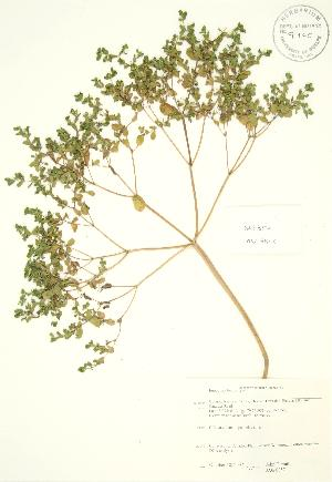 (Euphorbia helioscopia - JAG 0857)  @11 [ ] Copyright (2009) Steven Newmaster University of Guelph BIO Herbarium