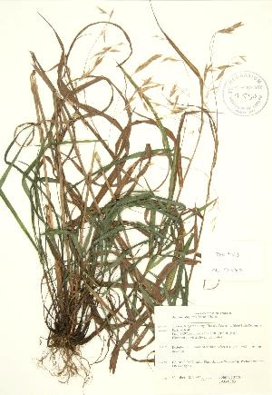 (Bromus latiglumis - JAG 0853)  @11 [ ] Copyright (2009) Unspecified University of Guelph BIO Herbarium