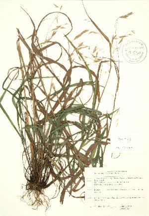 (Bromus latiglumis - JAG 0853)  @11 [ ] Copyright (2009) Steven Newmaster University of Guelph BIO Herbarium