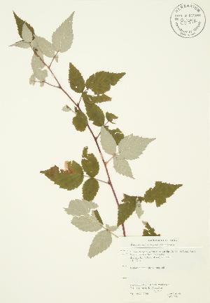 (Rubus idaeus strigosus - JAG 0319)  @11 [ ] Copyright (2009) Steven Newmaster University of Guelph BIO Herbarium