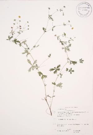(Potentilla argentea - JAG 0191)  @11 [ ] Copyright (2009) Steven Newmaster University of Guelph BIO Herbarium
