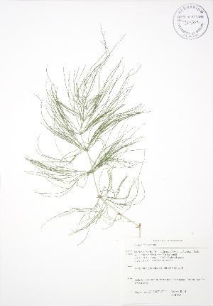 (Equisetum sylvaticum - ALR032)  @11 [ ] Copyright (2009) Steven Newmaster University of Guelph BIO Herbarium